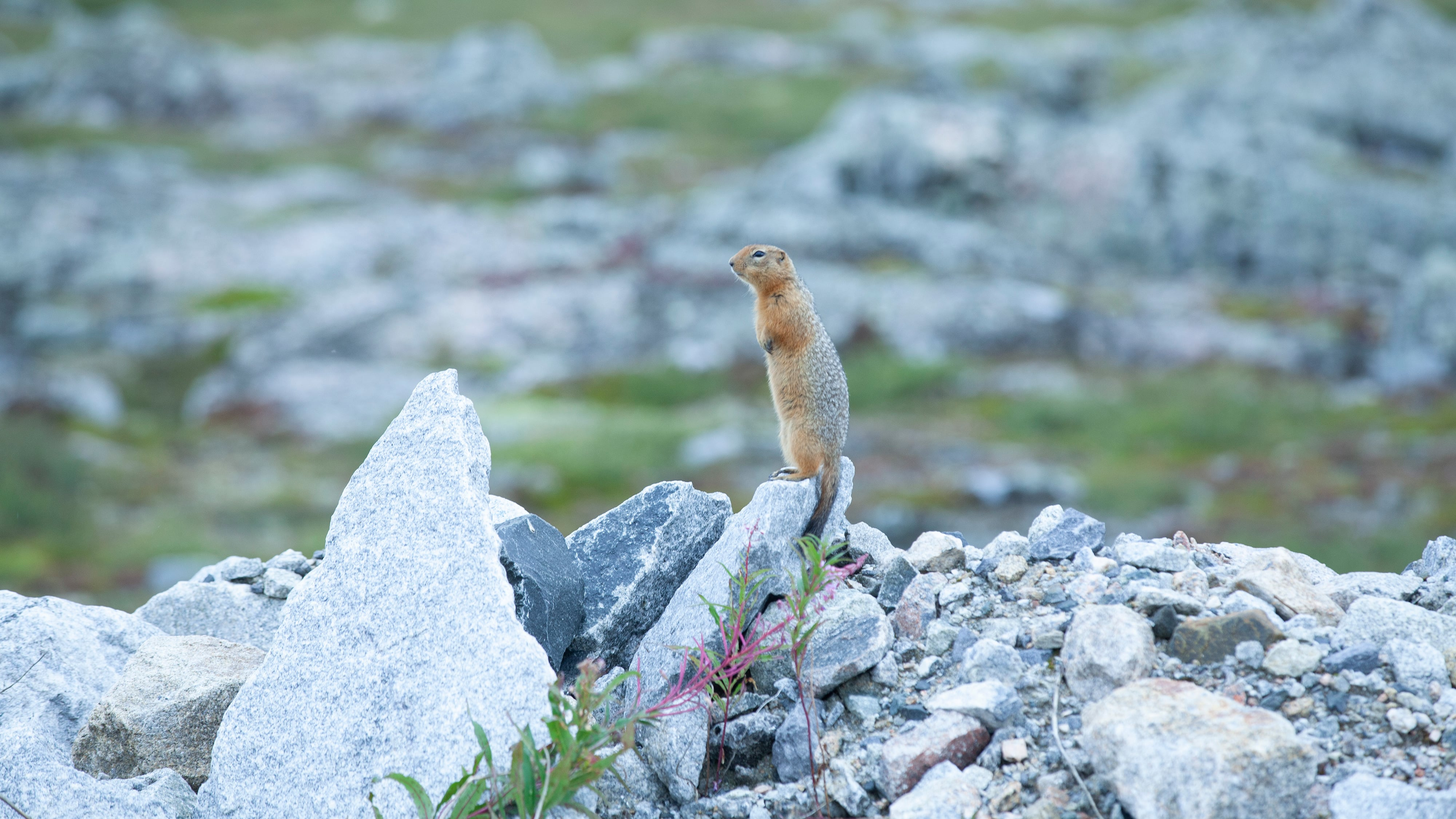 Small animal perched on rock