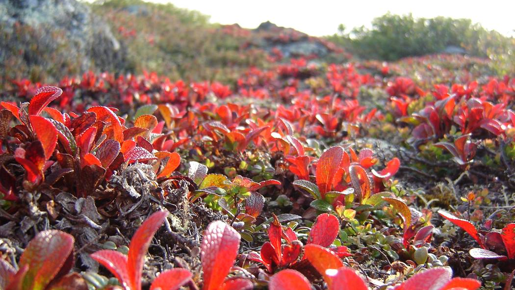 Diavik tundra vegetation